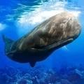 抹香鯨模擬器